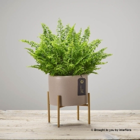 Freedom Fern Planter